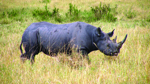 Rinoceronti, massacrati per eccitarsi